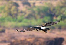 Ein Kaffernadler segelt über die Landschaft des Tuli-Blocks in Botswana - © Villiers Steyn / Shutterstock