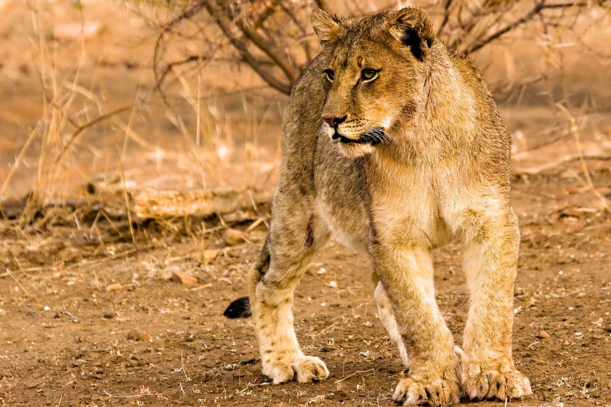 Eine Löwin im Tuli Block in Botswana - © Stefanie van Vinden/Shutterstock