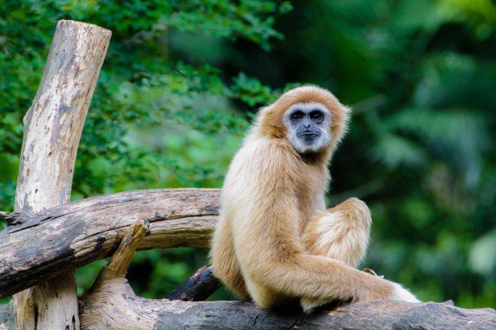 Gibbon Affen können im Baumwipfelwanderweg der Sungai Liang Forest Recreation Area entdeckt werden - © sorapop / Fotolia