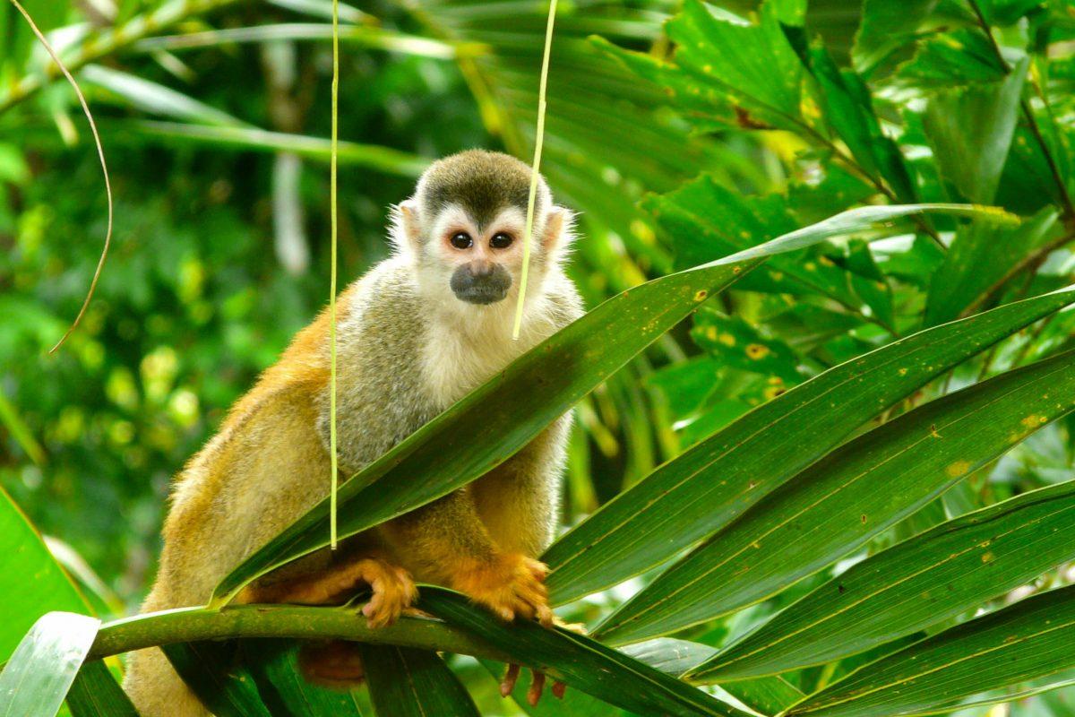 Affe im Manuel Antonio Nationalpark, Costa Rica - © Nacho Such / Shutterstock