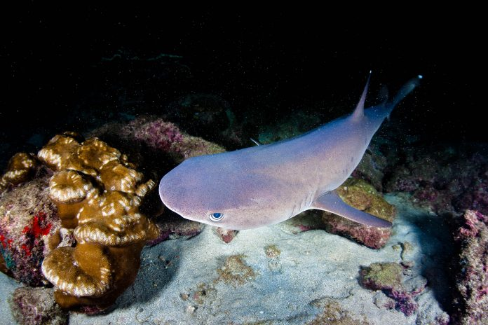 Ein Weißspitzen-Riffhai auf der nächtlichen Jagd vor der Kokosinsel, Costa Rica - © Ethan Daniels / Shutterstock