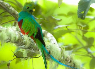 Mit etwas Glück erhascht man im Braulio-Carrillo-Nationalpark in Costa Rica einen Blick auf den prächtigen Göttervogel Quetzal, Costa Rica - © worldwildlifewonder/Shutterstock