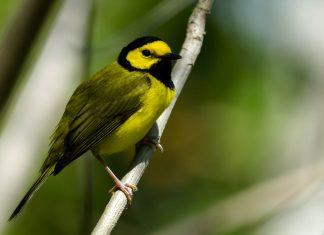 Neben dem Kapuzenwaldsänger finden noch 17 weitere gefährdete Vogelarten im Morne-Diablotin-Nationalpark auf der karibischen Insel Dominica Zuflucht - © drsuth48 / Shutterstock