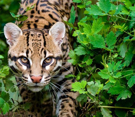 Der La Tigra Nationalpark in Honduras wird von den seltenen wunderschönen Ozelots durchstreift - © Andy Poole / Shutterstock