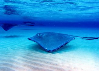 Zahme Stachelrochen in Stingray City, das Highlight auf den Kaimaninseln - © Martin Wilkinson / Fotolia