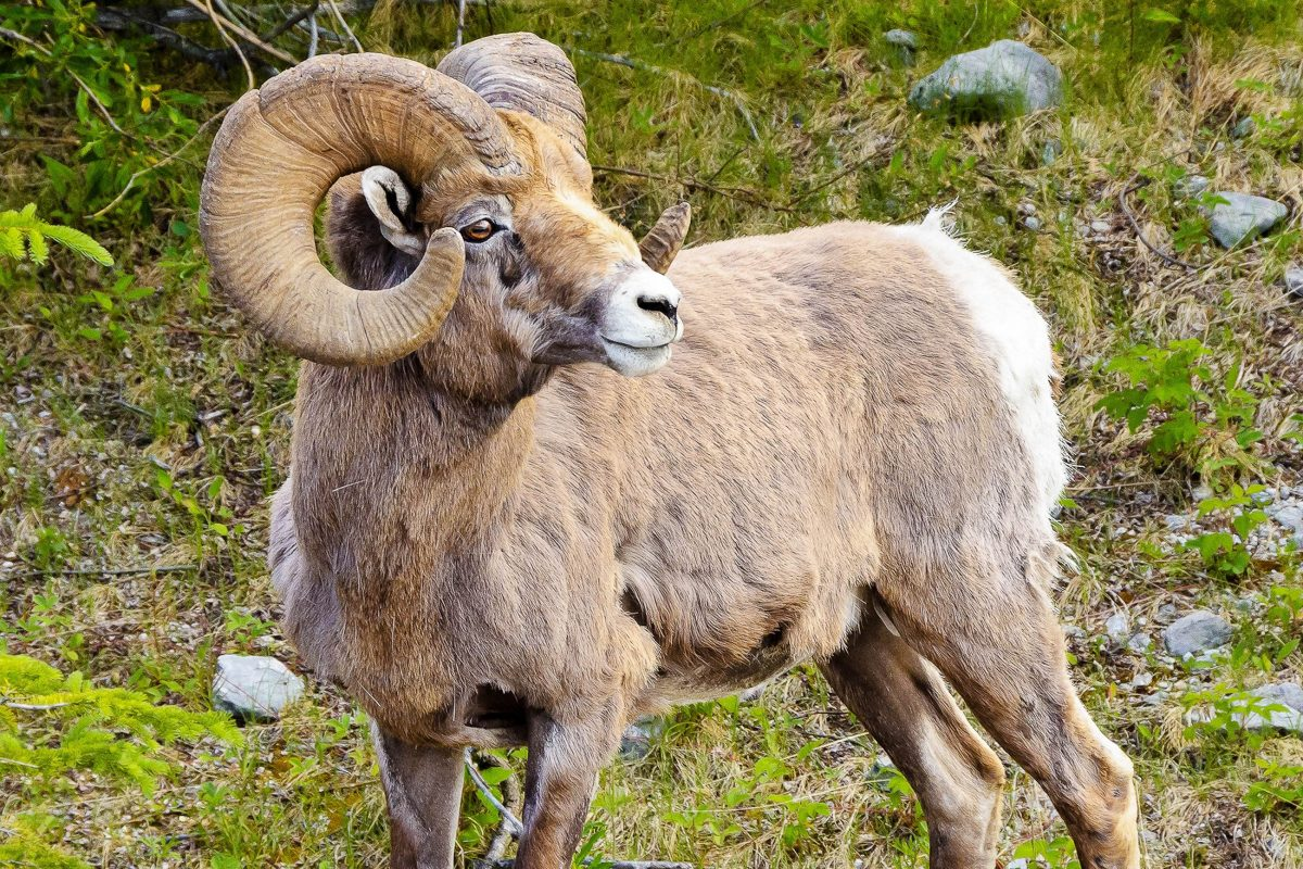Das Argali, ein riesiges Wildschaf, hat im Altyn-Emel-Nationalpark in Kasachstan einen geschützten Lebensraum gefunden - © karamysh / Shutterstock
