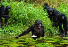 In den üppigen Dschungel- und Flusslandschaften des Conkouati-Douli Nationalparks leben Schimpansen noch völlig ungestört - © Sergey Uryadnikov/Shutterstock