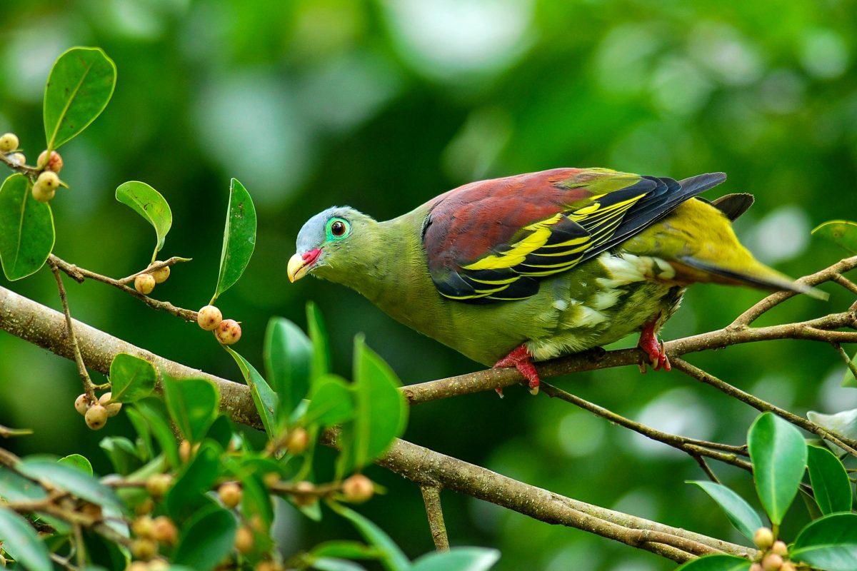 Die bedrohte Grüne Timortaube hat im Konis-Santana-Nationalpark in Osttimor einen geschützten Lebensraum gefunden - © Super Prin / Shutterstock