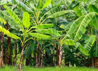 In der Sumpfregion Kuk in Papuga-Neuguinea wurden bereits vor etwa 6.000 Jahren Bananen und Zuckerrohr angebaut - © happystock / Shutterstock