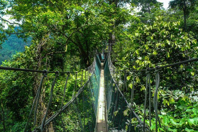 Der 40m über dem Waldboden angebrachte Canopy Aerial Walkway ist das Highlight im Falealupo-Rainforest & Falealupo Rainforest Reserve auf Savaii Samoa | Franks Travelbox