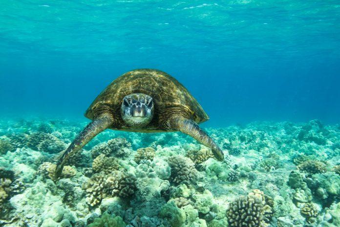 Eine Grüne Meeresschildkröte auf Futtersuche in der Funafuti Conservation Area, Tuvalu - © martywakat / Fotolia