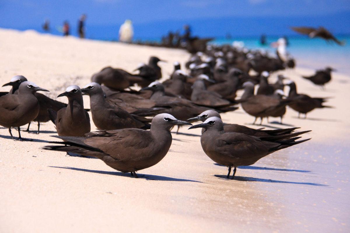 In der Funafuti Conservation Area auf der Südsee-Insel Tuvalu sind Kolonien der possierlichen braunen und schwarzen Noddis anzutreffen. - ©  feathercollector / Shutterstock
