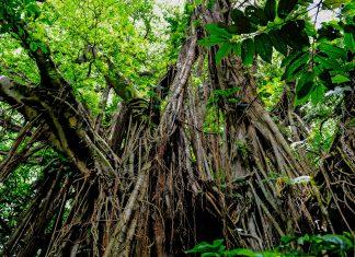Banyan Tree in Vanuatu - © Karin Wassmer / Shutterstock