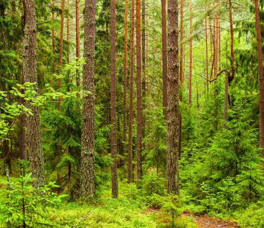 Im Nationalpark Belaweschskaja Puschtscha in Europas letztem Urwald ist eine fantastische Flora und Fauna erhalten geblieben, Weißrussland - © Neirfy / Shutterstock