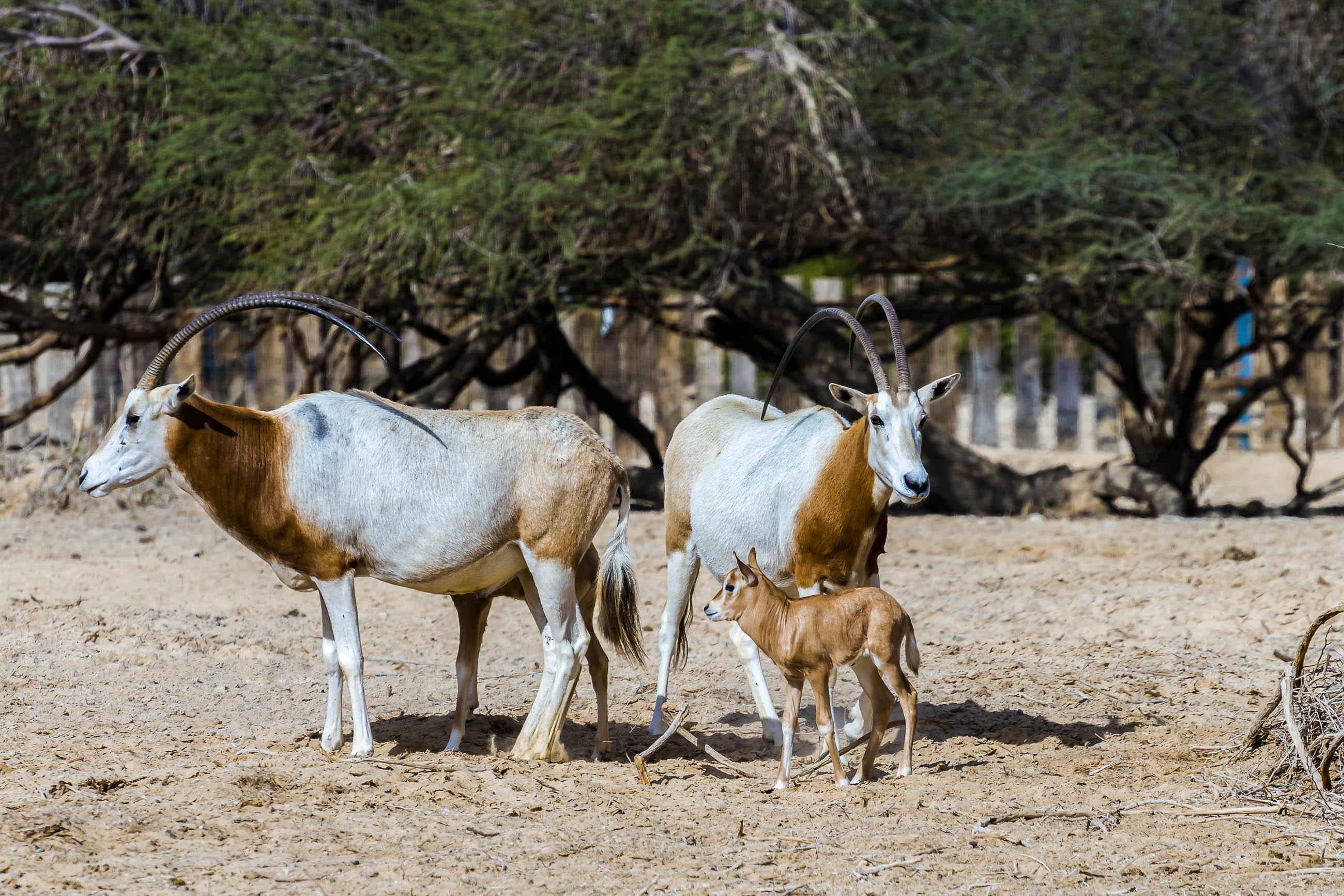 Die Säbelantilope galt schon als ausgestorben, wurde allerdings im Gebel-Elba-Nationalpark im Süden Ägyptens wieder gesichtet - © Sergei25 / Shutterstock