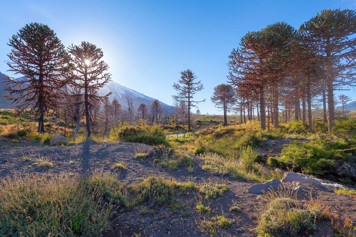 Die Chilenische Araukarie wächst im Nationalpark Lanin überall, sonst jedoch kaum wo in Argentinien - © sunsinger / Shutterstock