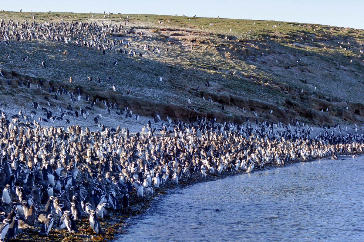 In Punta Tombo auf der argentinischen Halbinsel Valdes hat sich die größte Kolonie von Magellan-Pinguinen von ganz Südamerika angesiedelt, Argentinien - © Watchtheworld / Shutterstock
