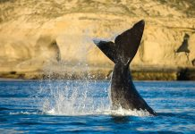 Rückenflosse eines Südkapers aus der Familie der Glattwale vor der spektakulären Kulisse der Halbinsel Valdes in Argentinien - © Pablo H Caridad / Shutterstock