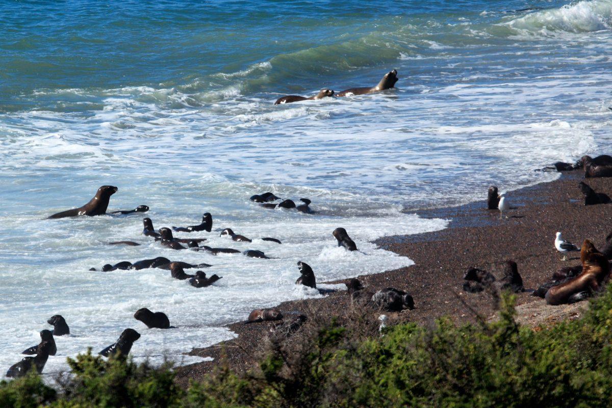 Seelöwen fühlen sich am Ufer der Halbinsel Valdes in Argentinien pudelwohl - © hecke61 / Shutterstock