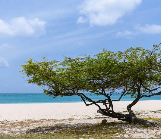 Die Divi Divi-Bäume am Palm Beach fungieren mit ihrem knorrigen, vom Wind verdrehten Wuchs als DAS Postkartenmotiv Arubas - © James Camel / franks-travelbox