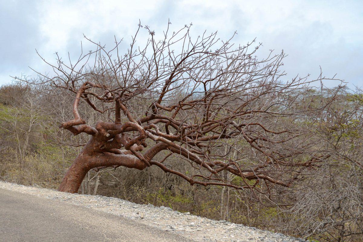 Durch die ständigen Winde auf Aruba haben sich die Äste des Divi-Divi in eine Richtung gebeugt – es sieht aus, als würde er schief wachsen - © James Camel / franks-travelbox
