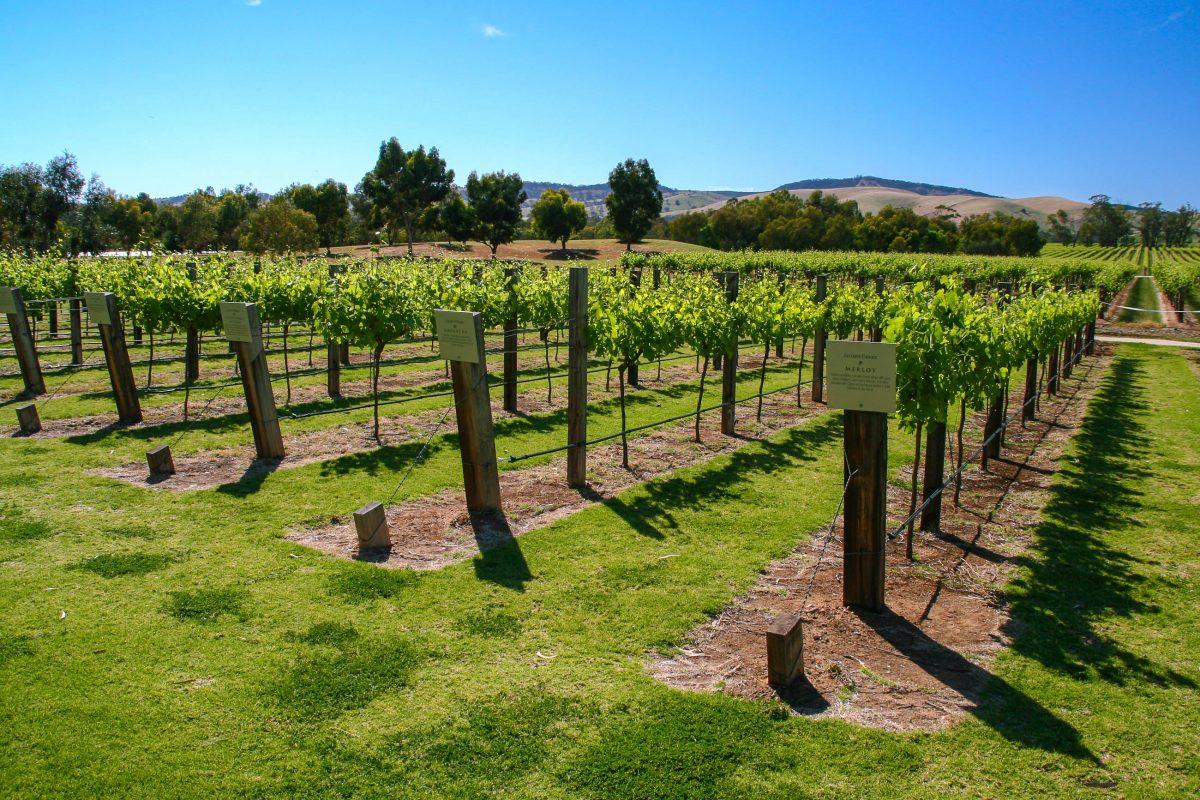 Auf den Weinanbauflächen im Barossa Valley werden knapp 60 des australischen Weins produziert, vor allem der schwere, beerige Shiraz wird hier kultiviert, Australien - © ezk / franks-travelbox