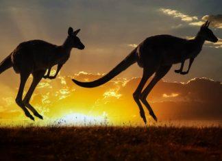 Kängurus fühlen sich in der Menschenleere des australischen Outbacks wohl, Australien - © idiz / Shutterstock
