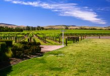 Von weitem schon sieht man die endlosen Reihen an Weinstöcken, die in den heißen Sommern und feuchten Wintern des Barossa Valley prächtig gedeihen, Australien - © ezk / franks-travelbox