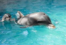 Dolphin Cay, DIE Adresse für jeden, der Delfine einmal hautnah erleben möchte, Bahamas - © stalert / Fotolia