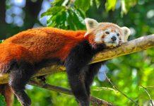 Der rote Panda zählt zu den possierlichsten Bewohnern des Jigme-Dorji-Nationalparks, Bhutan - © nmelnychuk / Fotolia