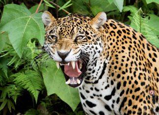 Mit etwas Glück lässt sich in Boliviens Nationalpark Madidi ein Jaguar im dichten Dschungel blicken - © Adalbert Dragon / Shutterstock