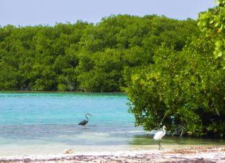 An der Lac Bay im Süden Bonaires, der größten Lagune der niederländischen Antillen, liegt im Norden inmitten von herrlichen Mangroven die Halbinsel Cai - © Lila Pharao / franks-travelbox