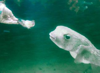 Das Highlight auf der Schnorcheltour durch die Mangrovenwälder von Lac Bay ist der Kugelfisch, der Austern aus der Hand frisst, Bonaire - © Lila Pharao / franks-travelbox