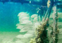 Die Mangrovenwälder am Lac Bay, Bonaire, entpuppen sich unter Wasser als eine farbenfrohe Wunderwelt aus Fischen, Quallen und Schwämmen - © Lila Pharao / franks-travelbox