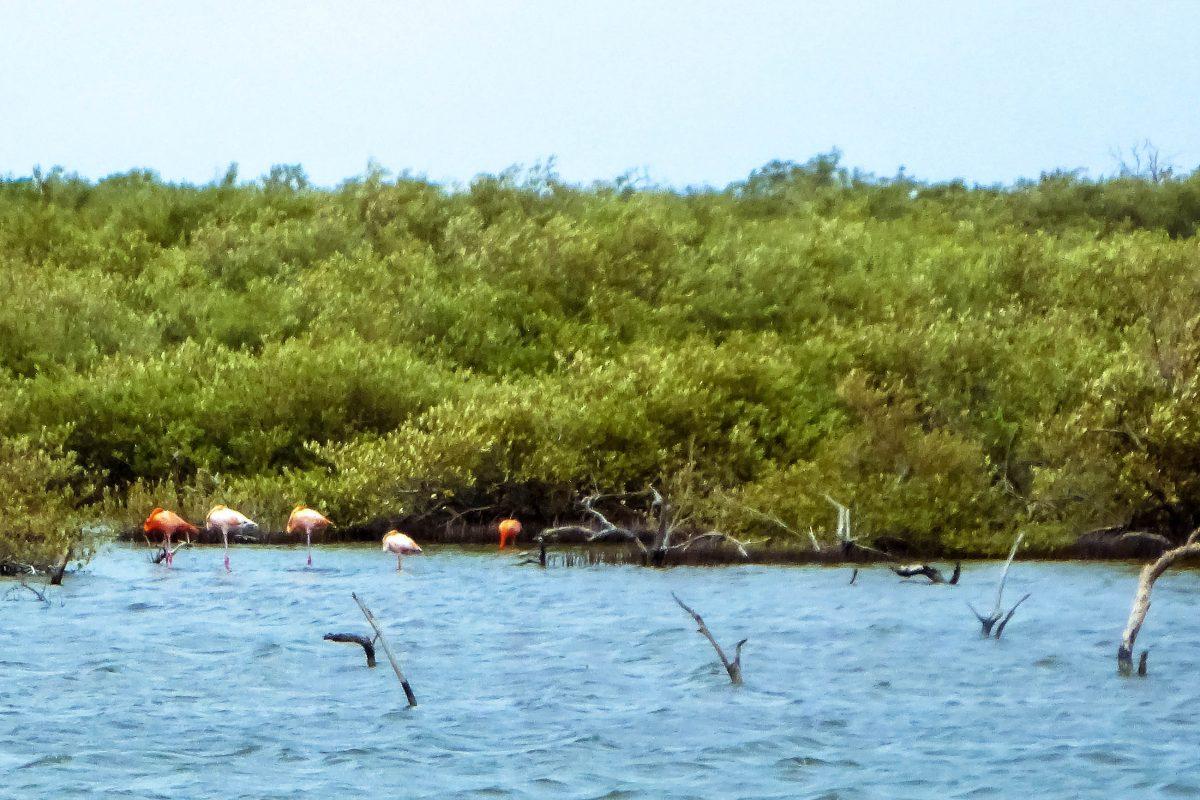 Flamingos in den Mangrovenwäldern von Bonaire - © Lila Pharao / franks-travelbox