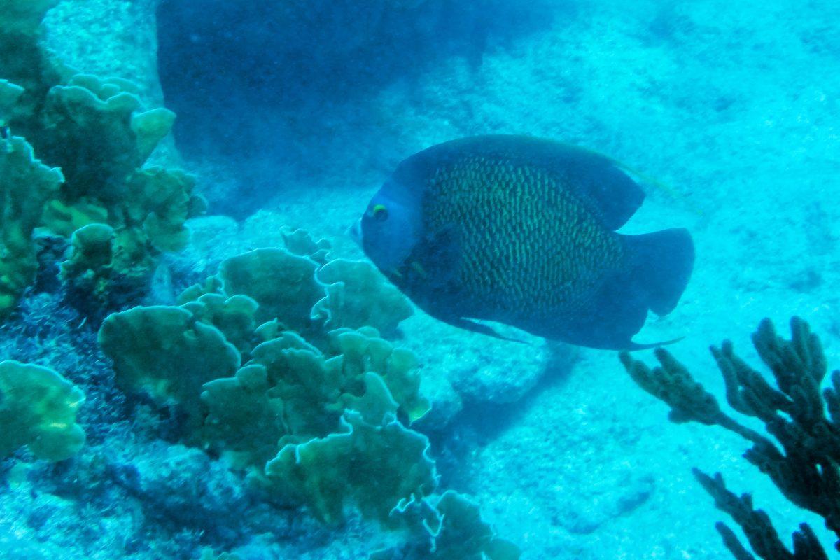 Franzosen-Kaiserfisch in der Margate Bay, Bonaire - © Lila Pharao / franks-travelbox