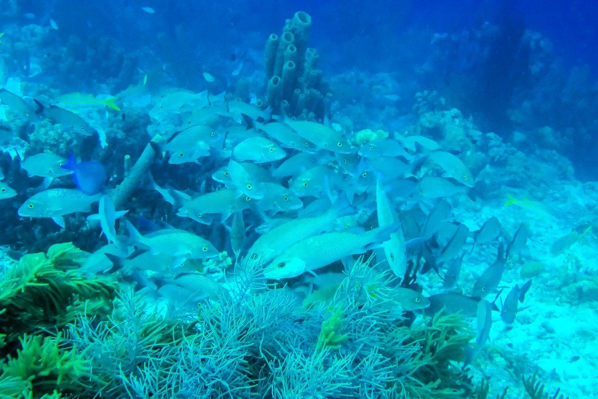 Schwärme von Schnapperfischen bevölkern das Korallenriff um Klein Bonaire - © Lila Pharao / franks-travelbox
