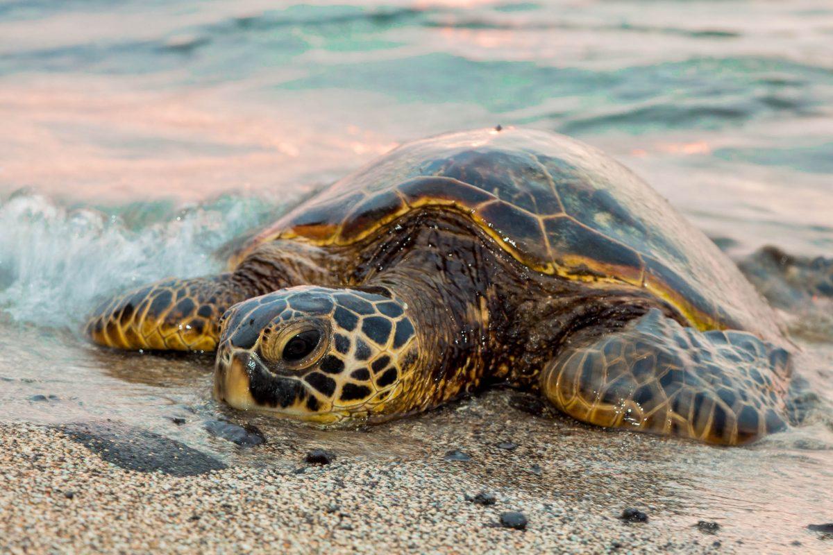 Die bis zu drei Meter großen Meeresschildkröten stehen am Praia do Forte im Projekt TAMAR unter Schutz, Brasilien - © Tony Northrup / Shutterstock