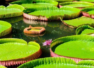Die prachtvolle Victoria Regia, die größte Wasserlilie der Welt ist im Amazonas im Dschungel um Manaus, Brasilien zu finden - © Oleg Znamenskiy / Shutterstock