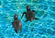 """Die Non-Profit-Organisation """"Projeto TAMAR"""" in Brasilien setzt sich seit den 1980er-Jahren für den Schutz von Meeresschildkröten an Bahias Küste ein - © FRASHO / franks-travelbox"""