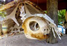 Faszinierendes Skelett einer Meeresschildkröte in der Besucherstation des Projeto TAMAR in Praia do Forte, Brasilien - © FRASHO / franks-travelbox