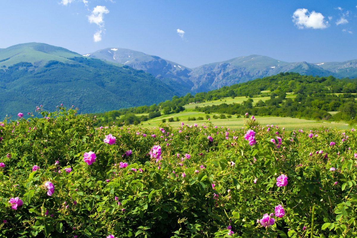 Das malerische Rosental im Zentrum von Bulgarien verwöhnt mit kilometerlangen Rosenfeldern Nase und Auge eines jeden Besuchers - © Petar Paunchev / Shutterstock