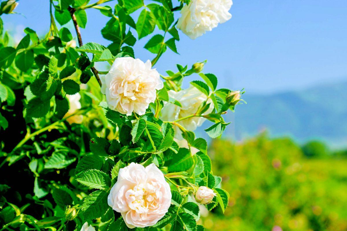 Die majestätische Rosa damascena, die im Rosental bei Kazanlak kultiviert wird, ist eines der Nationalsymbole von Bulgarien - © Victor Lauer / Shutterstock