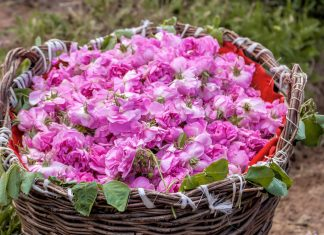 Die Rosenblätter werden im Rosental von Kazanlak von Hand gepflückt und in Weidenkörben zur Destillerie transportiert, Bulgarien - © nikolay100 / Shutterstock