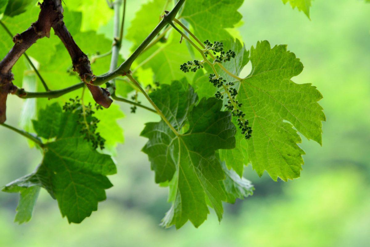 Die Reben für den Melnik-Wein wachsen nirgendwo sonst auf der Welt und verleihen dem kräftigen, dunkelroten Tropfen einen unvergleichlichen Charakter, Bulgarien - © FRASHO / franks-travelbox.com