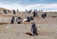 Auf der Isla Magdalena vor der Südküste von Chile bietet sich die einmalige Gelegenheit, sich völlig frei unter zigtausenden wild lebenden Pinguinen zu bewegen - © Matyas Rehak / Shutterstock