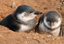 Im November schlüpfen auf der Isla Magdalena, Chile, die jungen Pinguine, die anschließend rund zwei Monate von ihren Eltern großgezogen werden - © Bernard Hardman / Shutterstock