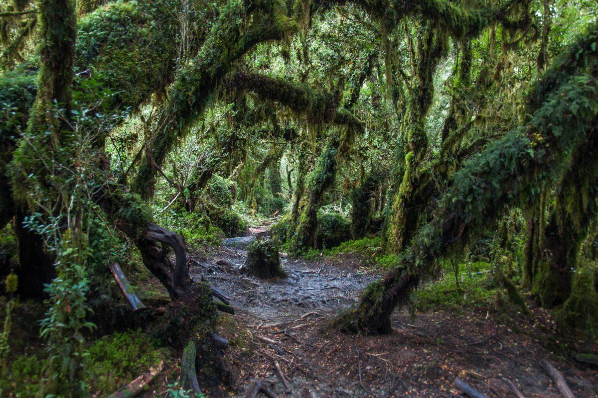 Wer durch den Märchenwald im Queulat Nationalpark von Chile wandert, fühlt sich in eine andere Welt versetzt - © Hugo Brizard / Shutterstock