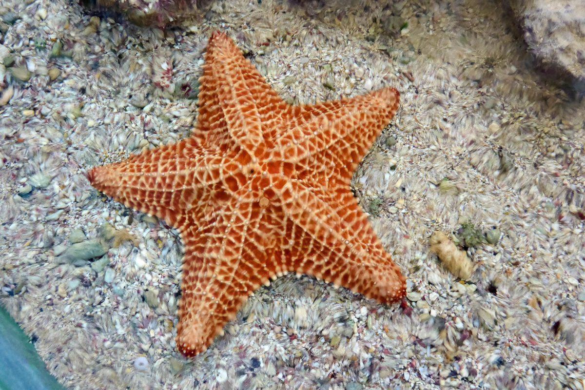 Im Touch Tank des Sea Aquariums auf Curaçao können Seesterne, Seegurken und Meeresschnecken berührt werden - © Lila Pharao / franks-travelbox
