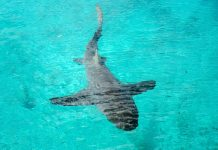 In abgesperrten Becken des Sea-Aquarium auf Curaçao ziehen Haie, Rochen, Schildkröten und andere Fische ihre Kreise - © James Camel / franks-travelbox